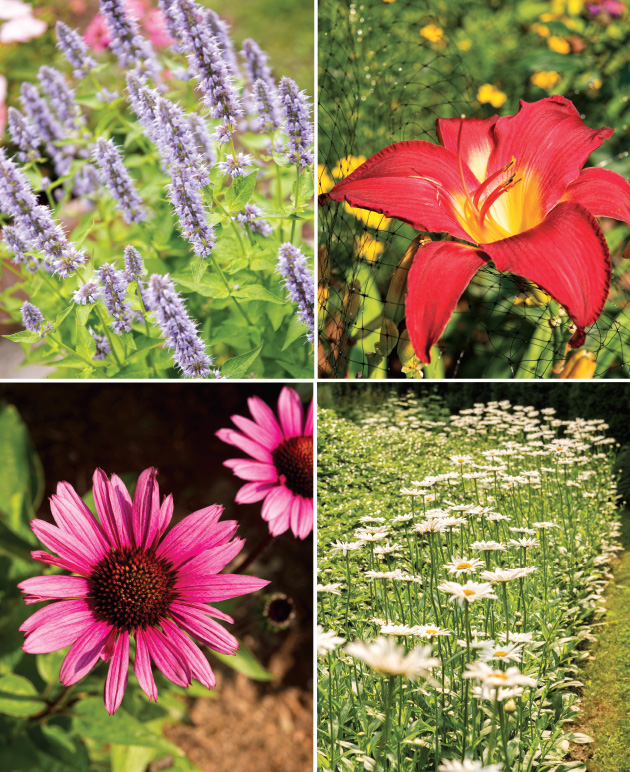 "Top left: Agastache ""Blue Fortune."" This plant's soft powder-blue flowers bloom from July onward. They are a magnet for butterflies and make a great addition to bouquets. Top right: Daylilies are so-called because each blossom lasts only one day. However, an established daylily plant produces numerous stems, each with multiple buds, so one plant can produce masses of blossoms for several weeks during July and August in our area. Bottom left: Echinacea purpurea, often called purple coneflower. This native of moist prairies, meadows and open woods grows 2 feet to 4 feet tall. Echinacea comes from the Greek word echinos, meaning hedgehog, in reference to the flower's spiny center cone. Bottom right: A bed of green pachysandra is bordered by Leucanthemum x superbum, more commonly known as Shasta daisies, standing tall and strong in the full sunlight. They are easy to grow, make great cut flowers and attract butterflies."